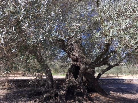 1200 year old Farga olive tree